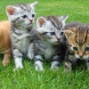 12 อันดับสายพันธ์ุแมวยอดฮิตที่คนไทยชอบเลี้ยง