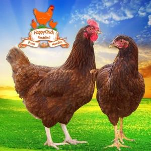 Happy Chick Farm Aomsin จำหน่าย ลูกไก่ไข่-เนื้อ ไก่ไข่สาว ไก่พร้อมไข่ พ่อ-แม่พันธุ์ อุปกรณ์สัตว์และอาหารสัตว์